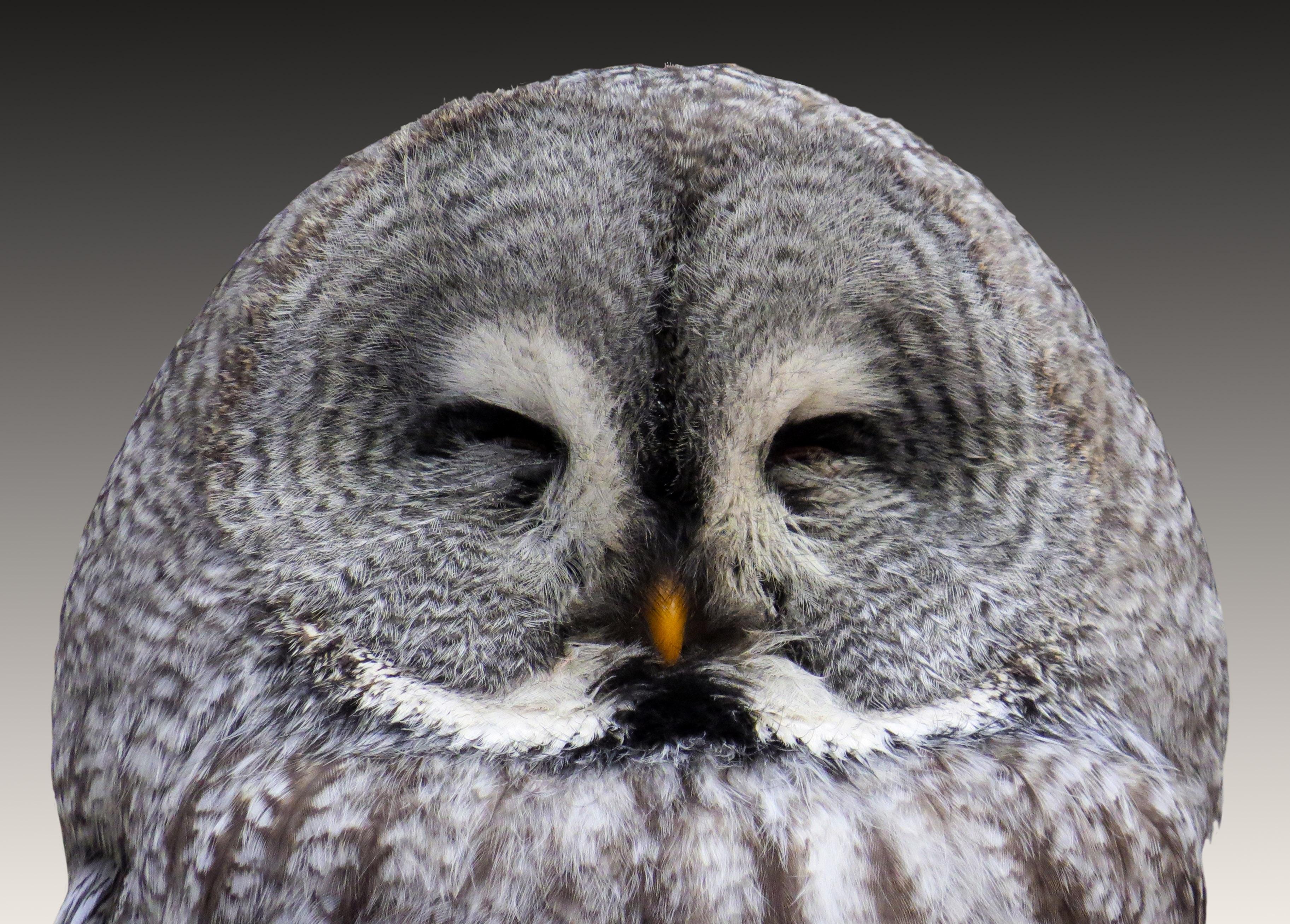 animal-owl-eagle-owl-wisdom-48155
